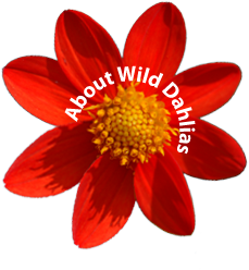 About Wild Dahlias